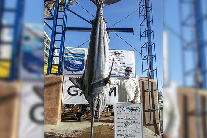 Huge Black Marlin Caught