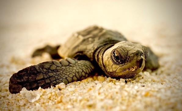 Sea Turtles Need New Tires