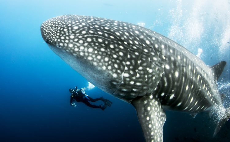 Whale Shark Watching is Good Now!