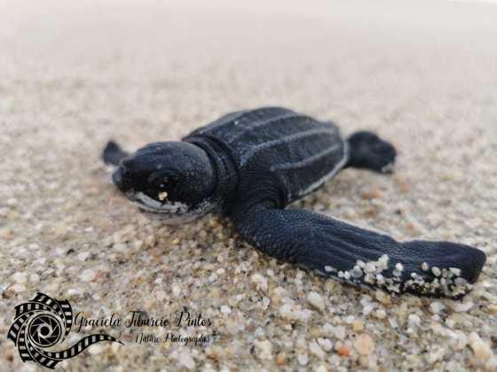 Leatherback Babies Released