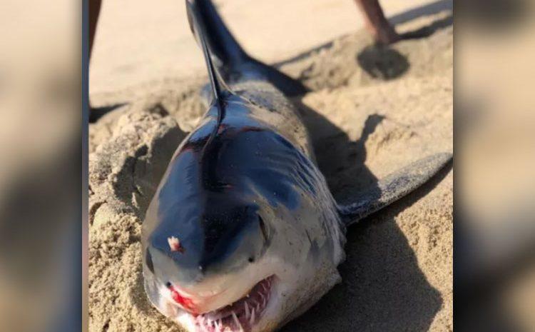 Stabbed Shark Washes Ashore