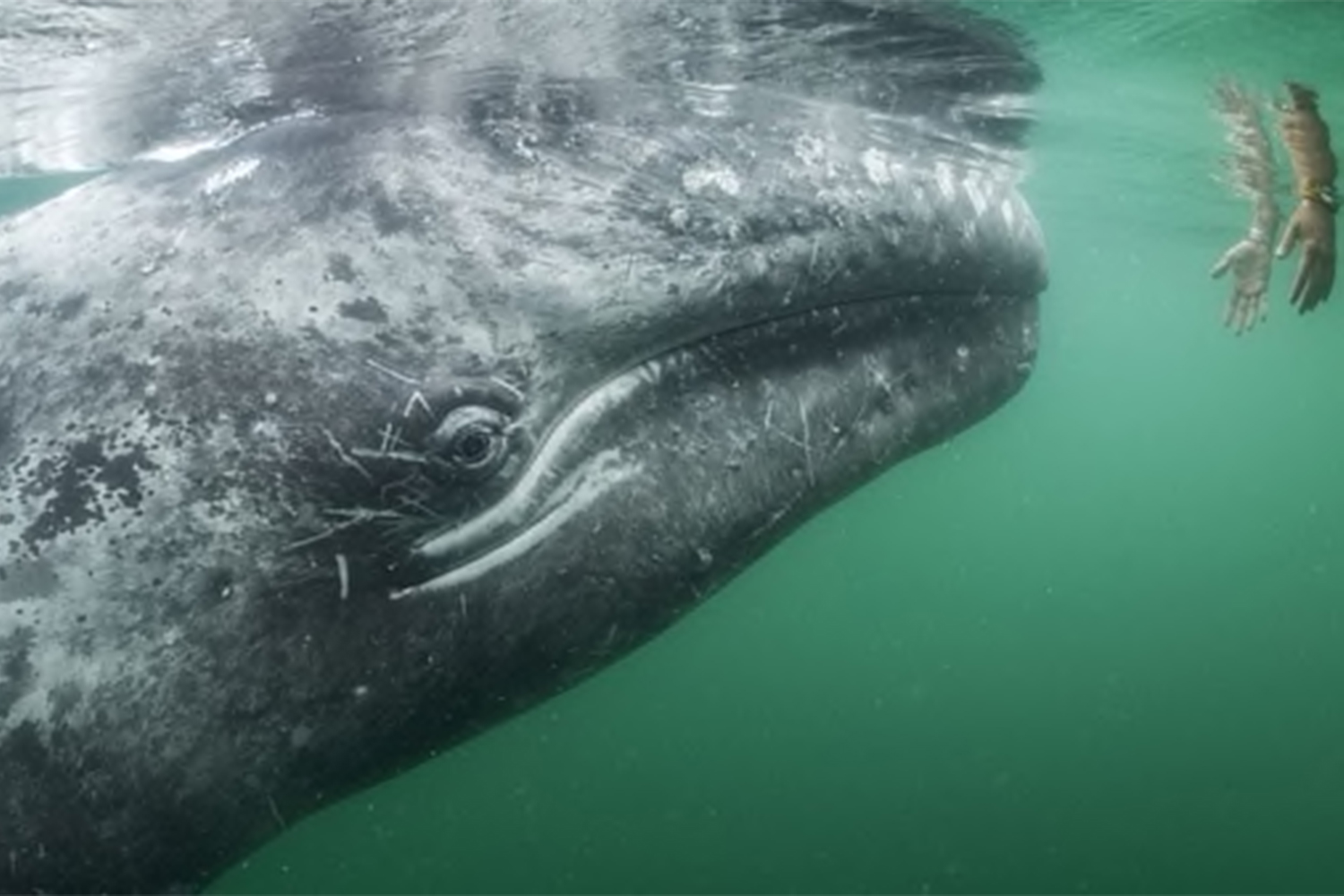 Number of Gray Whales Decreasing Fast